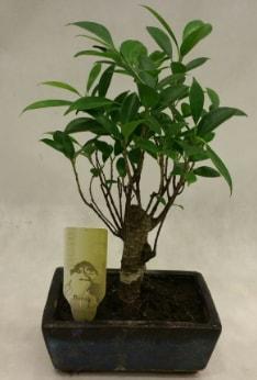 Japon ağacı bonsai bitkisi satışı  Bartın çiçekçi telefonları