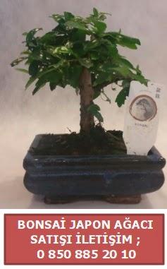 Japon ağacı minyaür bonsai satışı  Bartın çiçek satışı