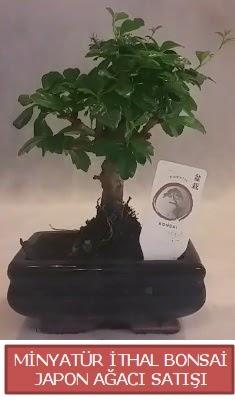 Küçük görsel bonsai japon ağacı bitkisi  Bartın çiçek , çiçekçi , çiçekçilik