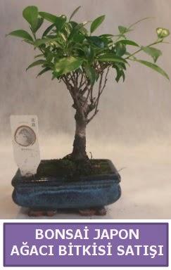 İthal Bonsai japon ağacı bitkisi satışı  Bartın İnternetten çiçek siparişi