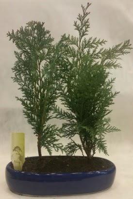 SINIRLI SAYIDA Selvi Ağacı bonsai ikili  Bartın çiçekçi telefonları