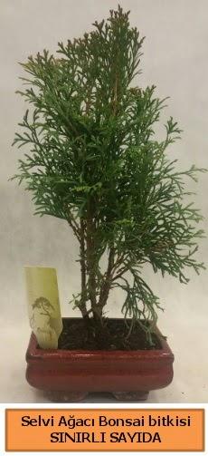 Selvi ağacı bonsai japon ağacı bitkisi  Bartın çiçek satışı