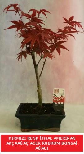 İTHAL ACER RUBRUM BONSAİ AĞACI  Bartın çiçek gönderme sitemiz güvenlidir