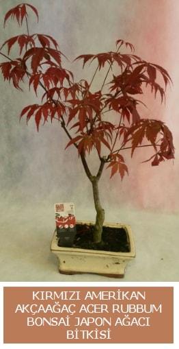Amerikan akçaağaç Acer Rubrum bonsai  Bartın uluslararası çiçek gönderme