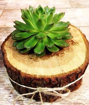 Doğal kütük içerisinde sukulent kaktüs  Bartın çiçek satışı