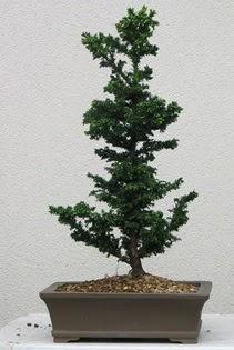 Çam ağacı bonsai bitkisi satışı  Bartın çiçekçi telefonları