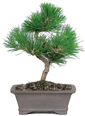 Çam ağacı bonsai japon ağacı bitkisi  Bartın çiçek gönderme