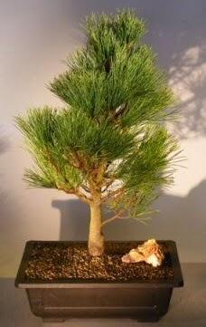 Çam ağacı japon ağacı bitkisi bonsai  Bartın çiçekçi telefonları