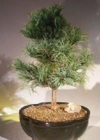 Çam ağacı bonsai bitkisi satışı  Bartın ucuz çiçek gönder