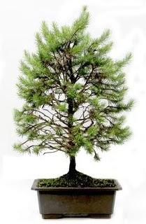 *** STOKTA YOK - Çam ağacı bonsai bitkisi satışı  Bartın cicekciler , cicek siparisi