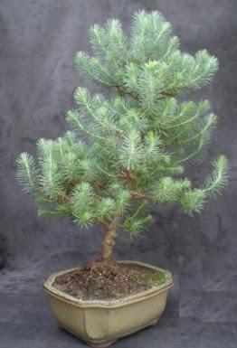 Bonsai çam ağacı japon ağacı bitkisi  Bartın çiçek gönderme sitemiz güvenlidir