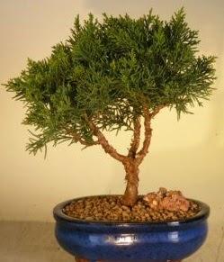 Servi çam bonsai japon ağacı bitkisi  Bartın çiçek yolla