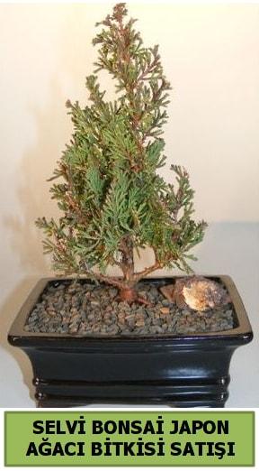 Selvi çam japon ağacı bitkisi bonsai  Bartın çiçekçi telefonları