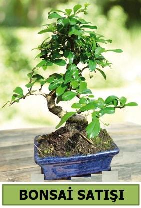 Çam bonsai japon ağacı satışı  Bartın çiçek satışı