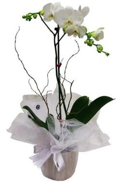 Tek dallı beyaz orkide  Bartın cicek , cicekci