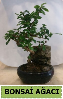 Bonsai ağacı japon ağacı satışı  Bartın hediye çiçek yolla