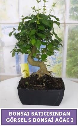 S dal eğriliği bonsai japon ağacı  Bartın çiçek satışı
