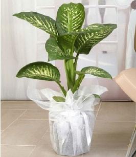 Tropik saksı çiçeği bitkisi  Bartın çiçek satışı