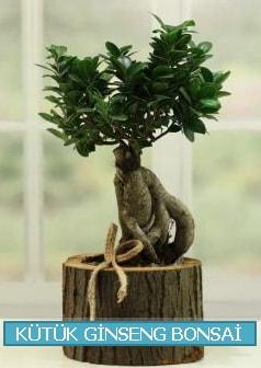 Kütük ağaç içerisinde ginseng bonsai  Bartın çiçek gönderme sitemiz güvenlidir