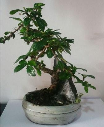 S şeklinde ithal bonsai ağacı  Bartın çiçek yolla
