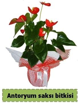 Antoryum saksı bitkisi satışı  Bartın çiçek , çiçekçi , çiçekçilik