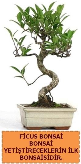 Ficus bonsai 15 ile 25 cm arasındadır  Bartın çiçek yolla