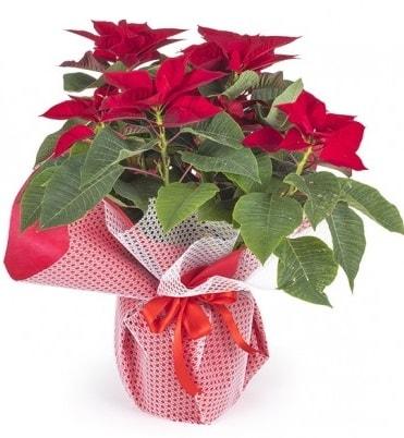 Atatürk çiçeği saksı bitkisi  Bartın çiçek gönderme sitemiz güvenlidir