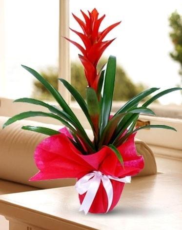 Guzmanya Saksı Çiçeği  Bartın çiçek yolla
