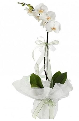 Tekli Beyaz Orkide  Bartın hediye çiçek yolla