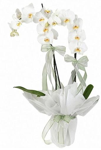 Çift Dallı Beyaz Orkide  Bartın anneler günü çiçek yolla