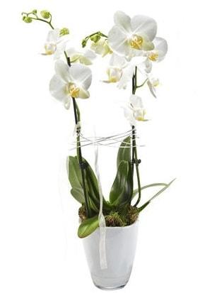 2 dallı beyaz seramik beyaz orkide saksısı  Bartın çiçek gönderme sitemiz güvenlidir