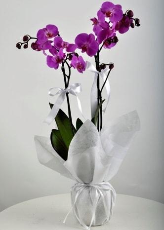 Çift dallı saksıda mor orkide çiçeği  Bartın çiçek siparişi vermek