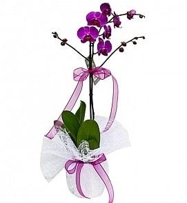 Tek dallı saksıda ithal mor orkide çiçeği  Bartın çiçekçiler