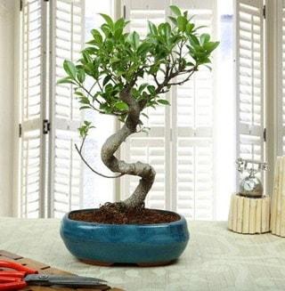 Amazing Bonsai Ficus S İthal  Bartın internetten çiçek siparişi
