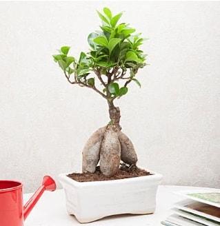 Exotic Ficus Bonsai ginseng  Bartın çiçek servisi , çiçekçi adresleri
