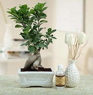 Ginseng ficus bonsai  Bartın çiçekçiler