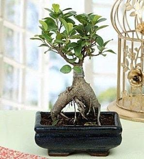 Appealing Ficus Ginseng Bonsai  Bartın anneler günü çiçek yolla