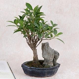 Japon ağacı Evergreen Ficus Bonsai  Bartın çiçek gönderme sitemiz güvenlidir