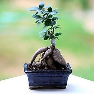Marvellous Ficus Microcarpa ginseng bonsai  Bartın çiçek siparişi vermek