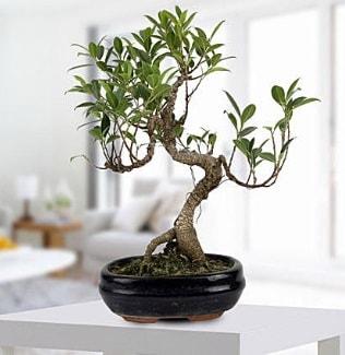 Gorgeous Ficus S shaped japon bonsai  Bartın yurtiçi ve yurtdışı çiçek siparişi