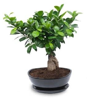 Ginseng bonsai ağacı özel ithal ürün  Bartın internetten çiçek satışı