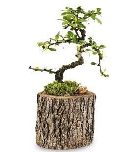 Doğal kütükte S bonsai ağacı  Bartın çiçek satışı