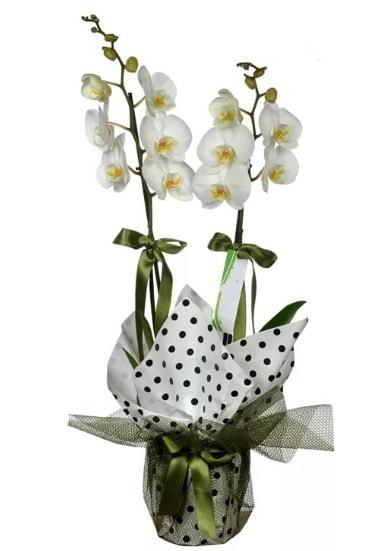 Çift Dallı Beyaz Orkide  Bartın 14 şubat sevgililer günü çiçek