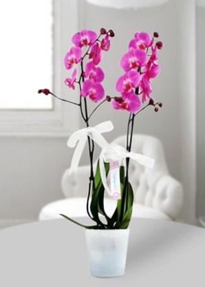 Çift dallı mor orkide  Bartın çiçekçiler