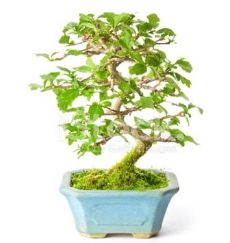 S zerkova bonsai kısa süreliğine  Bartın İnternetten çiçek siparişi