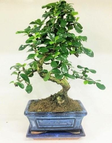 S Bonsai japon ağacı bitkisi  Bartın uluslararası çiçek gönderme