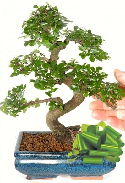 Yaklaşık 25 cm boyutlarında S bonsai  Bartın çiçek siparişi sitesi