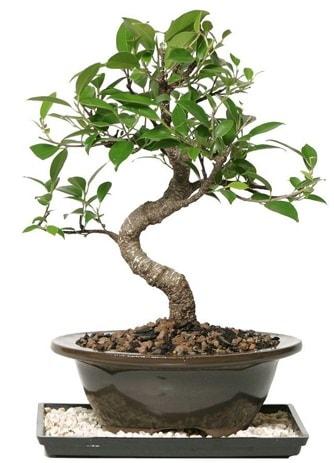 Altın kalite Ficus S bonsai  Bartın çiçekçi telefonları  Süper Kalite