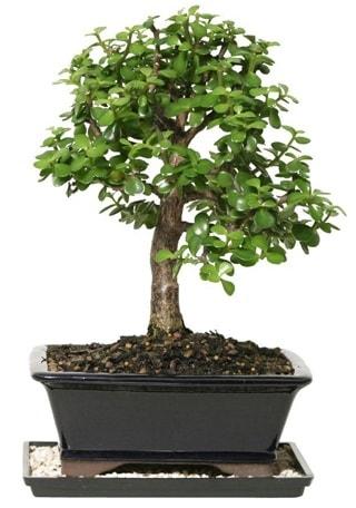 15 cm civarı Zerkova bonsai bitkisi  Bartın çiçek siparişi sitesi
