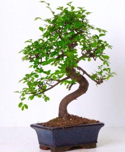S gövdeli bonsai minyatür ağaç japon ağacı  Bartın çiçek gönderme sitemiz güvenlidir